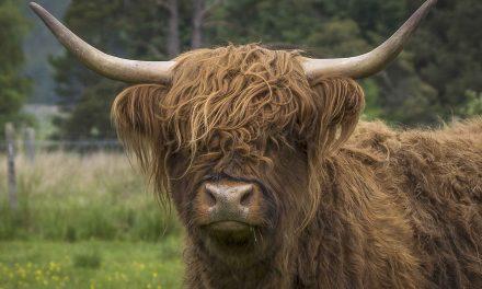 Skotsk højlandskvæg lever et godt ko-liv