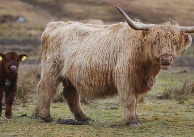Skotsk Højlandskvæg 4
